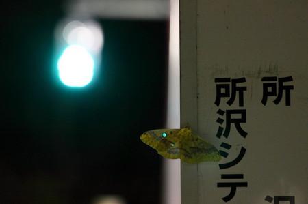 ウスタビガ1122青_1.JPG