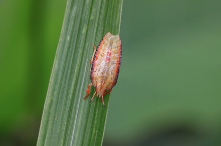 エビイロカメムシの幼虫_1.JPG