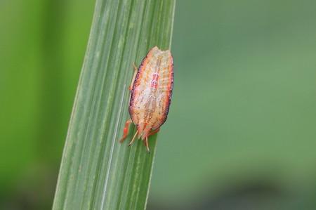 エビイロカメムシ幼虫0731-1_1.JPG