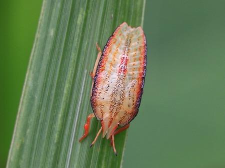 エビイロカメムシ幼虫0731-2_1.JPG
