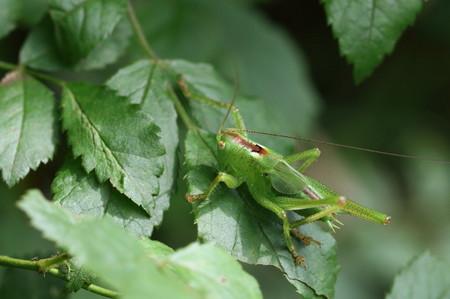ヤブキリ幼虫0610_1.JPG