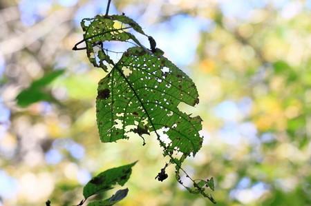 虫食い葉1119_1.JPG