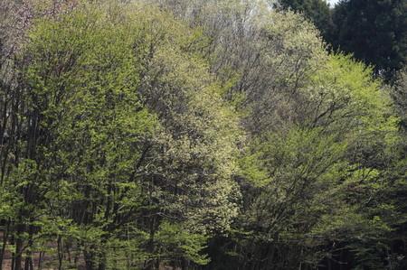 雑木林の萌0408_1.JPG