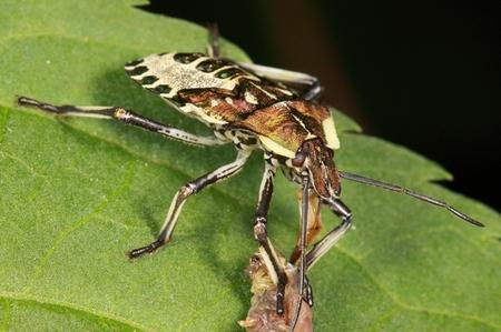 アオクチブトカメムシ幼虫0530.JPG