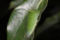アオスジアゲハ幼虫10.26.JPG