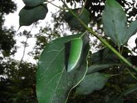 アオスジアゲハ幼虫2-10.26.jpg