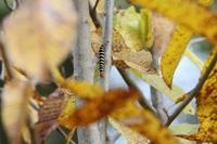 アオバセセリ幼虫1110.JPG