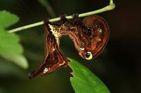 アケビコノハ幼虫10.09.JPG