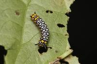アサギマダラ幼虫 10.21.JPG