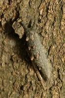 オオムラサキ幼虫11.26.JPG