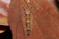 オオムラサキ幼虫11.28.JPG