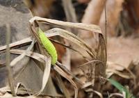 クロコノマ幼虫1-1127.JPG