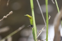 クロコノマ幼虫11.27.JPG