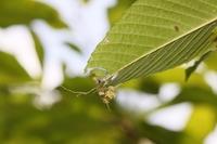 スミナガシ幼虫1-0818.JPG