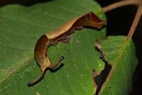 スミナガシ幼虫1-09.25.JPG