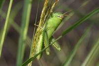 ツチイナゴ幼虫.JPG