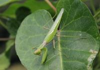 ハラビロカマキリ緑色型.JPG