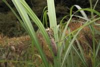 ハラビロカマキリ褐色1-1102.JPG