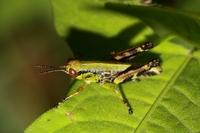 フキバッタ幼虫.JPG