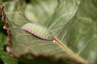 ベニシジミ幼虫0223.JPG